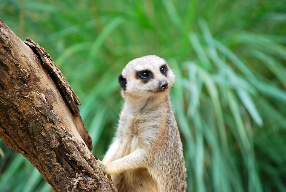 8880-a-meerkat-standing-by-a-tree-branch-pv